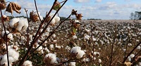 Global fiber production reaches all-time high, preferred cotton share rises
