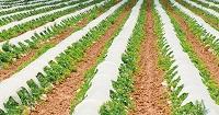 Plastic Mulch Damages Soil