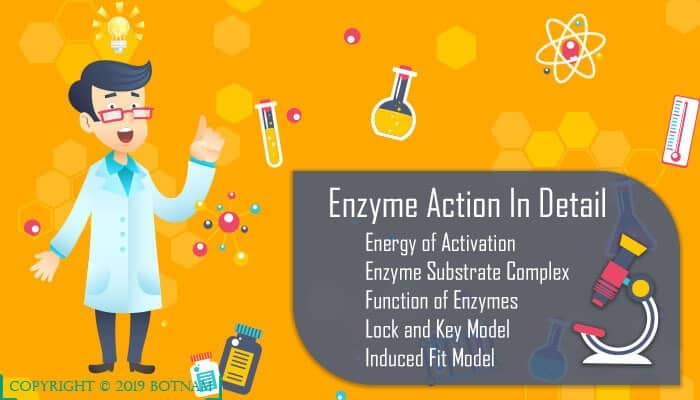 Enzymes are Proteins: A Definitive Guide of 4000+ Words